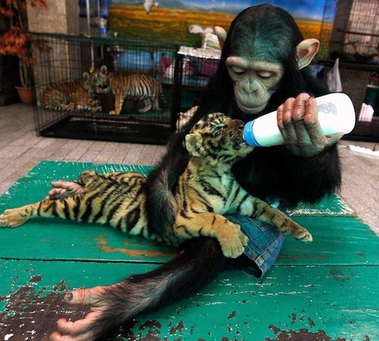 62476170 chimpansee tijger baby